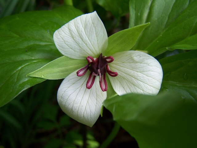 Southern Nodding Trillium-Trillium Rugelii flower 02 photo by Roy Burke