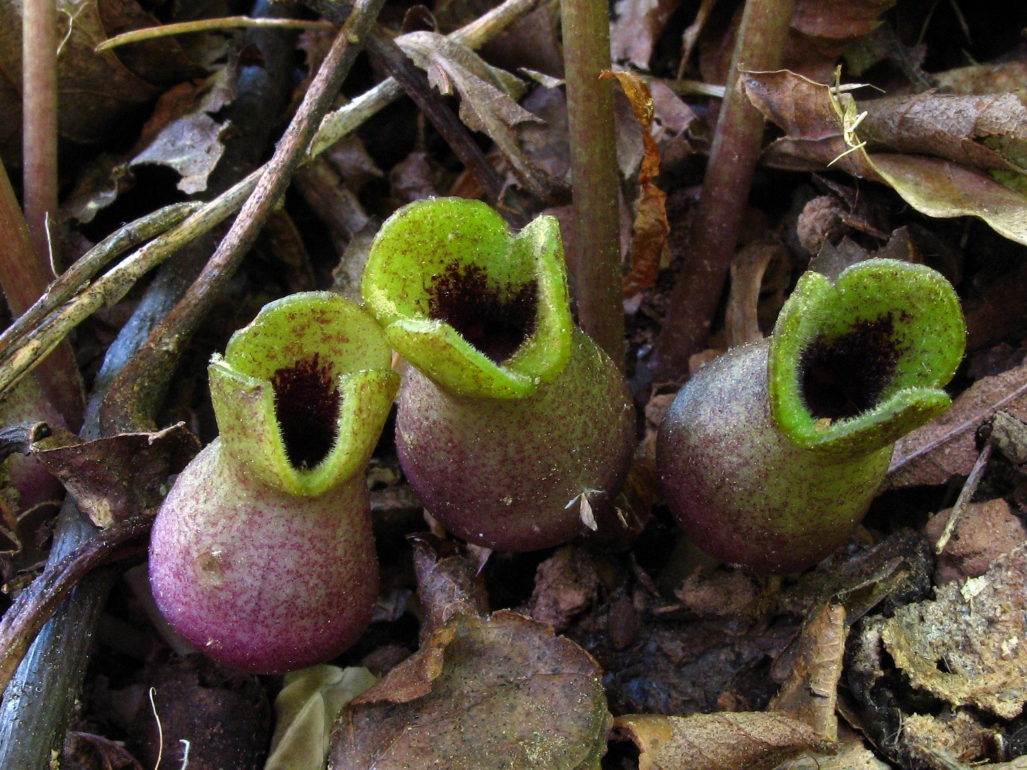 Web-LittleBrownJug-HexastylisArifolia-Flower03